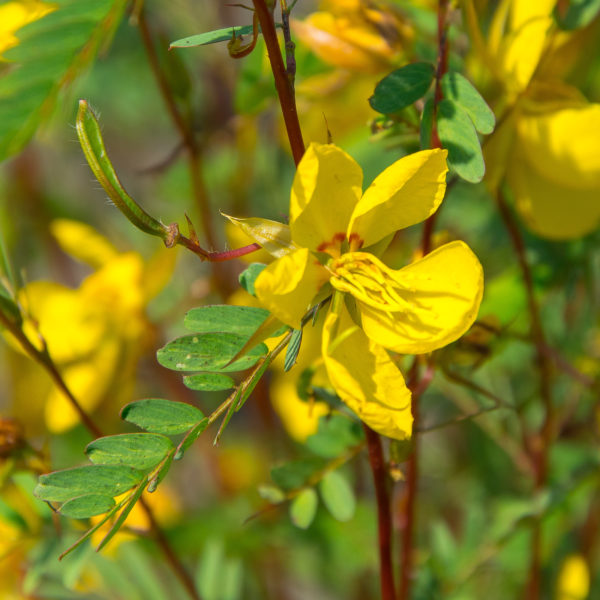 Partridge Pea closeup