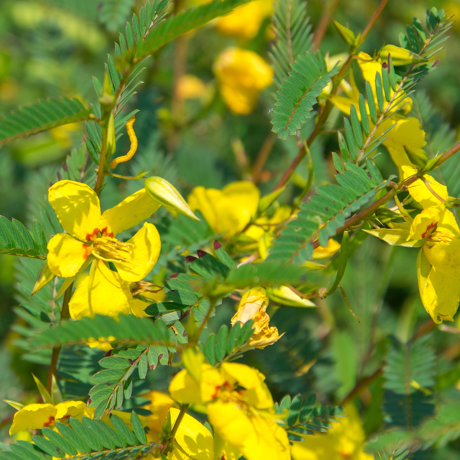 Partridge Pea bunch