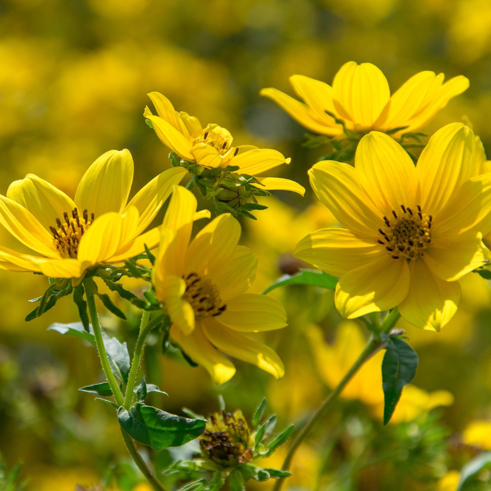 Bur Marigold closeup