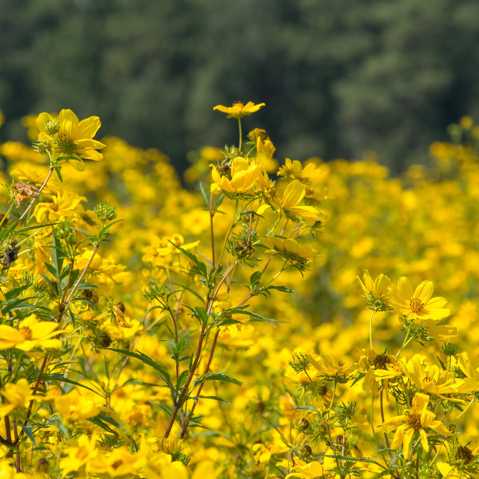 Bur Marigold field