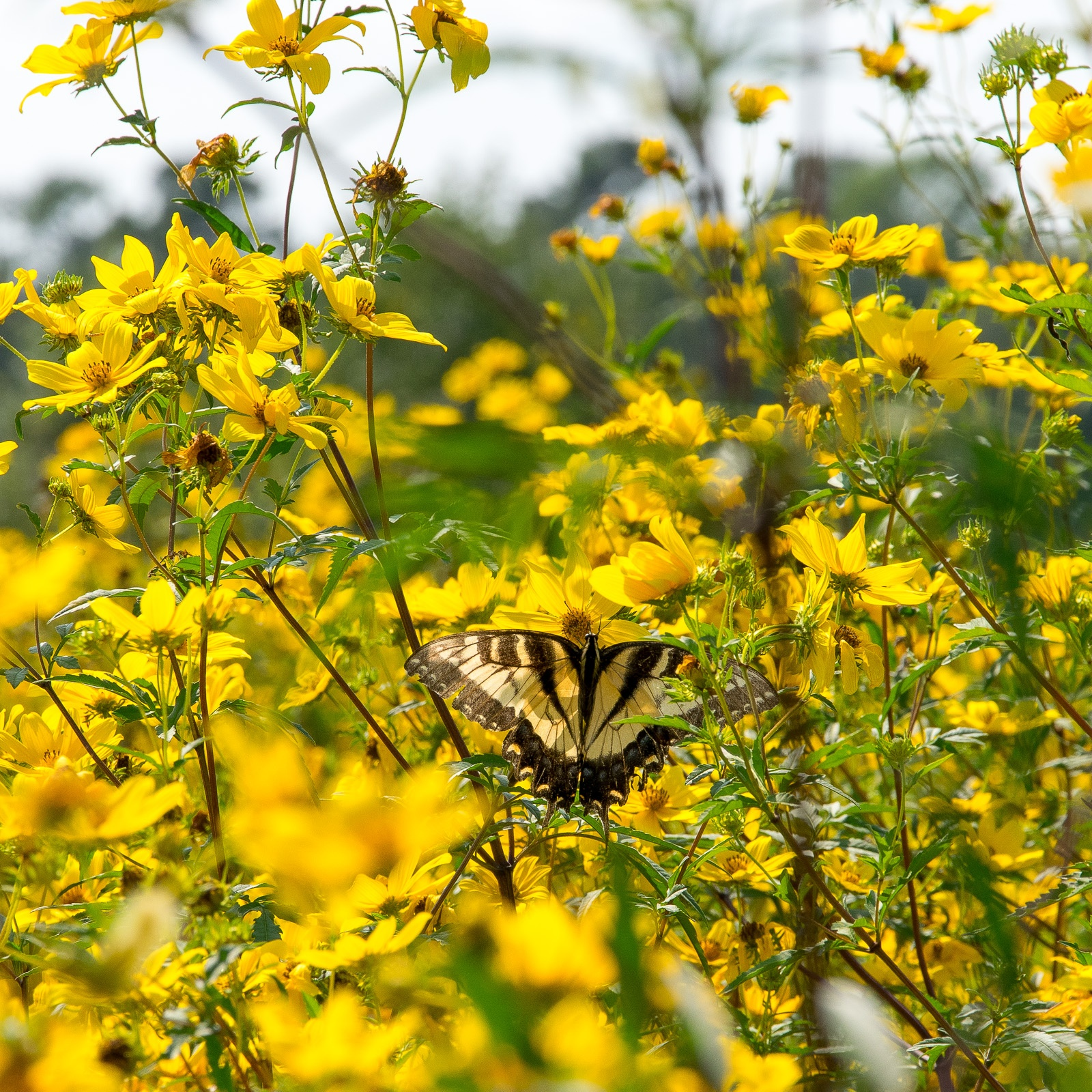 Bur Marigold pollinator