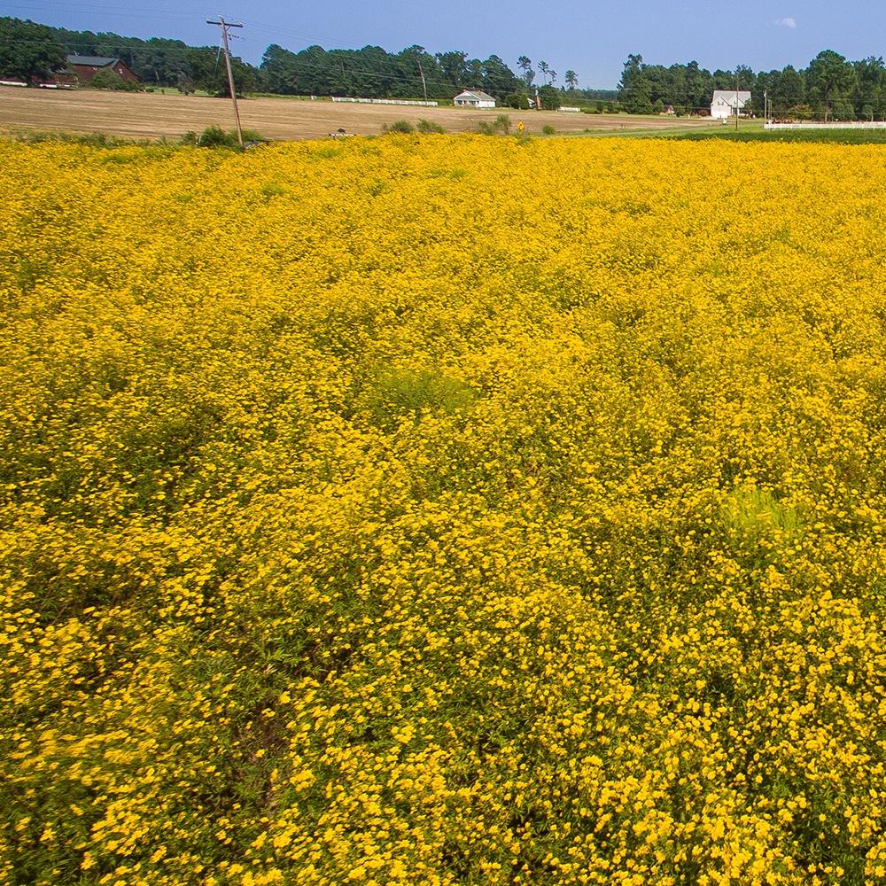 Bur Marigold large field