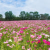 Cosmos large field