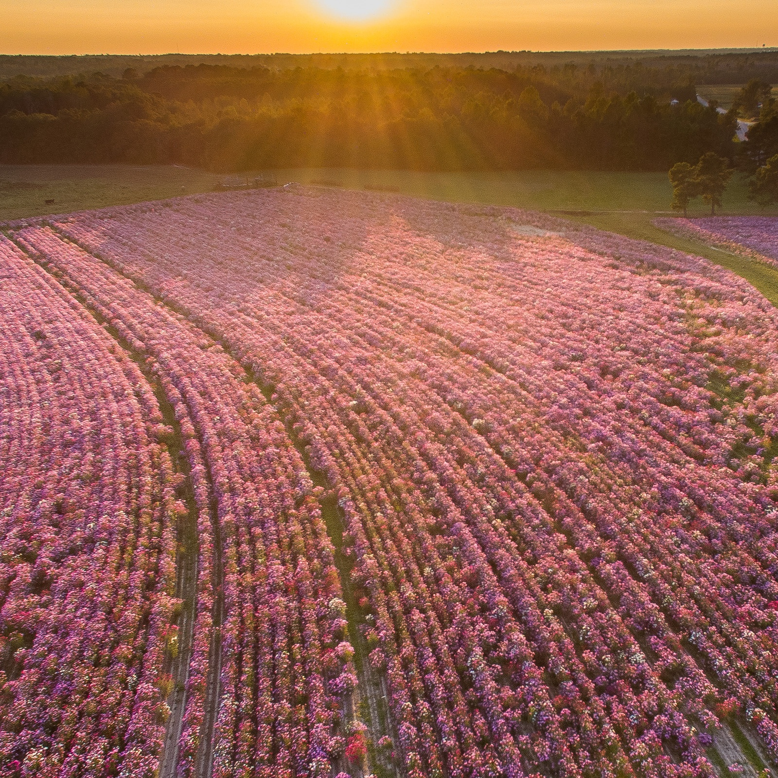 Cosmos planted rows