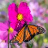 Cosmos pollinator