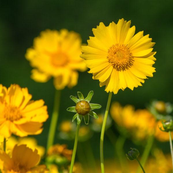 Large-Flower Tickseed