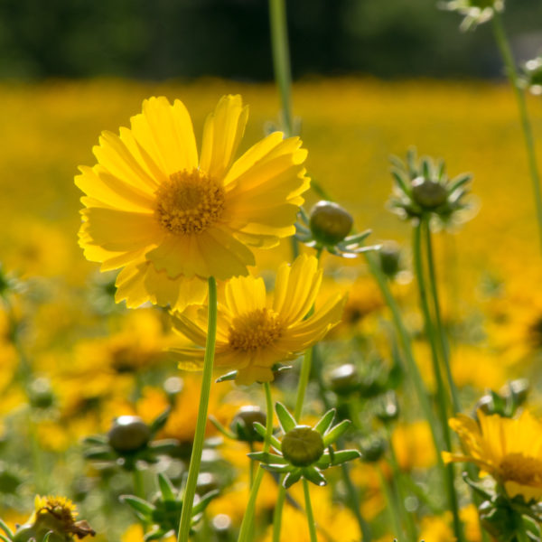 Lance-Leaved Coreopsis flower