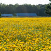 Lance-Leaved Coreopsis farm