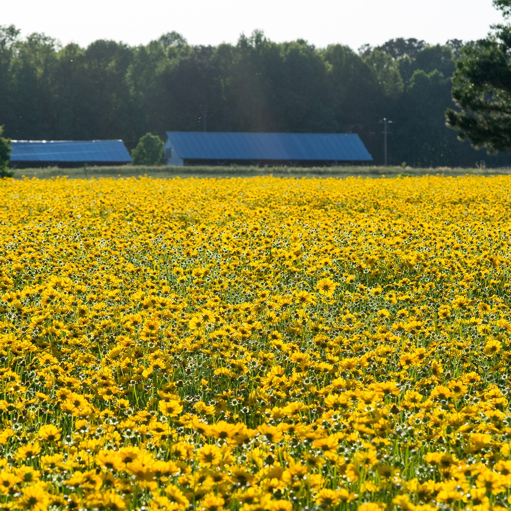 Lance-Leaved Coreopsis farm
