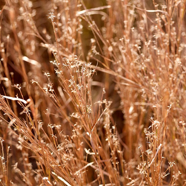 Little Bluestem closeup