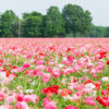 Mixed Corn Poppy field