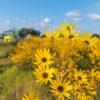 Narrow-Leaved Sunflower farm