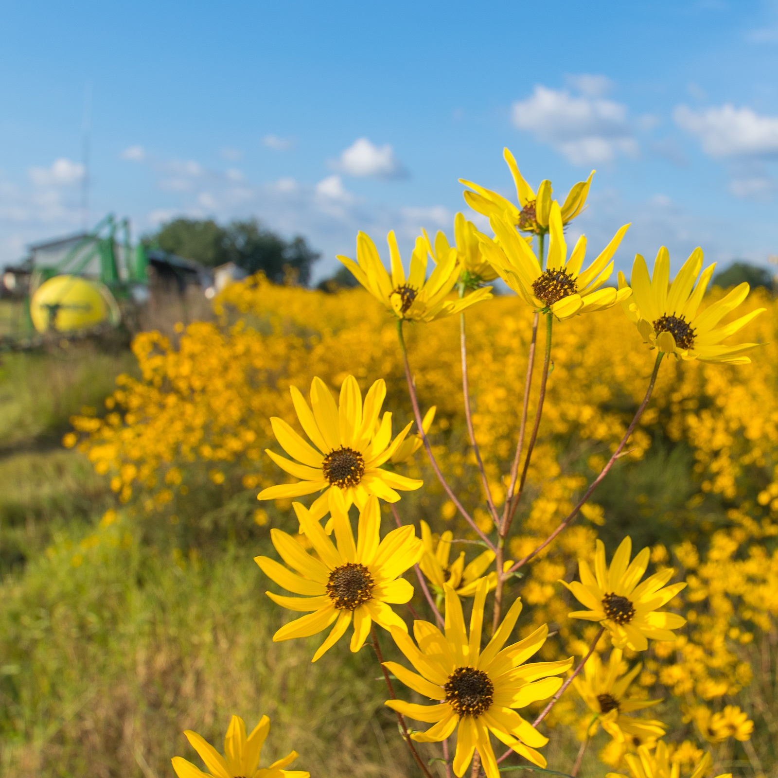 Narrow-Leaved Sunflower farm