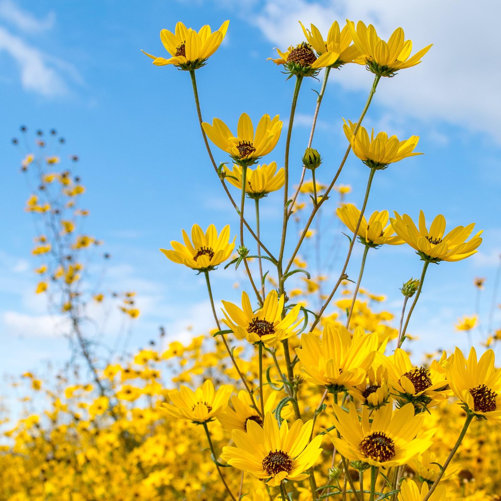 Narrow-leaved Sunflower bunch