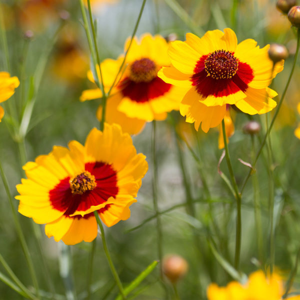 Plains Coreopsis grouping