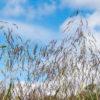 Purpletop Grass closeup