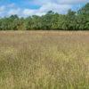 Purpletop Grass field