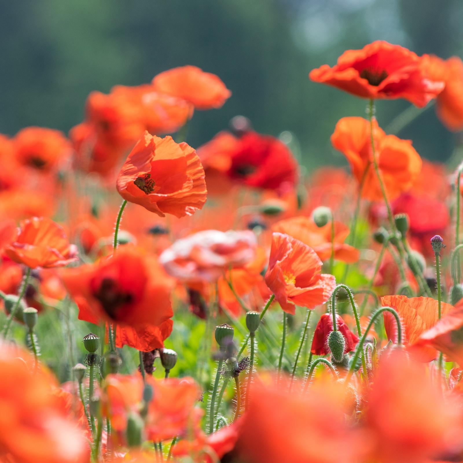 Red Corn Poppy field