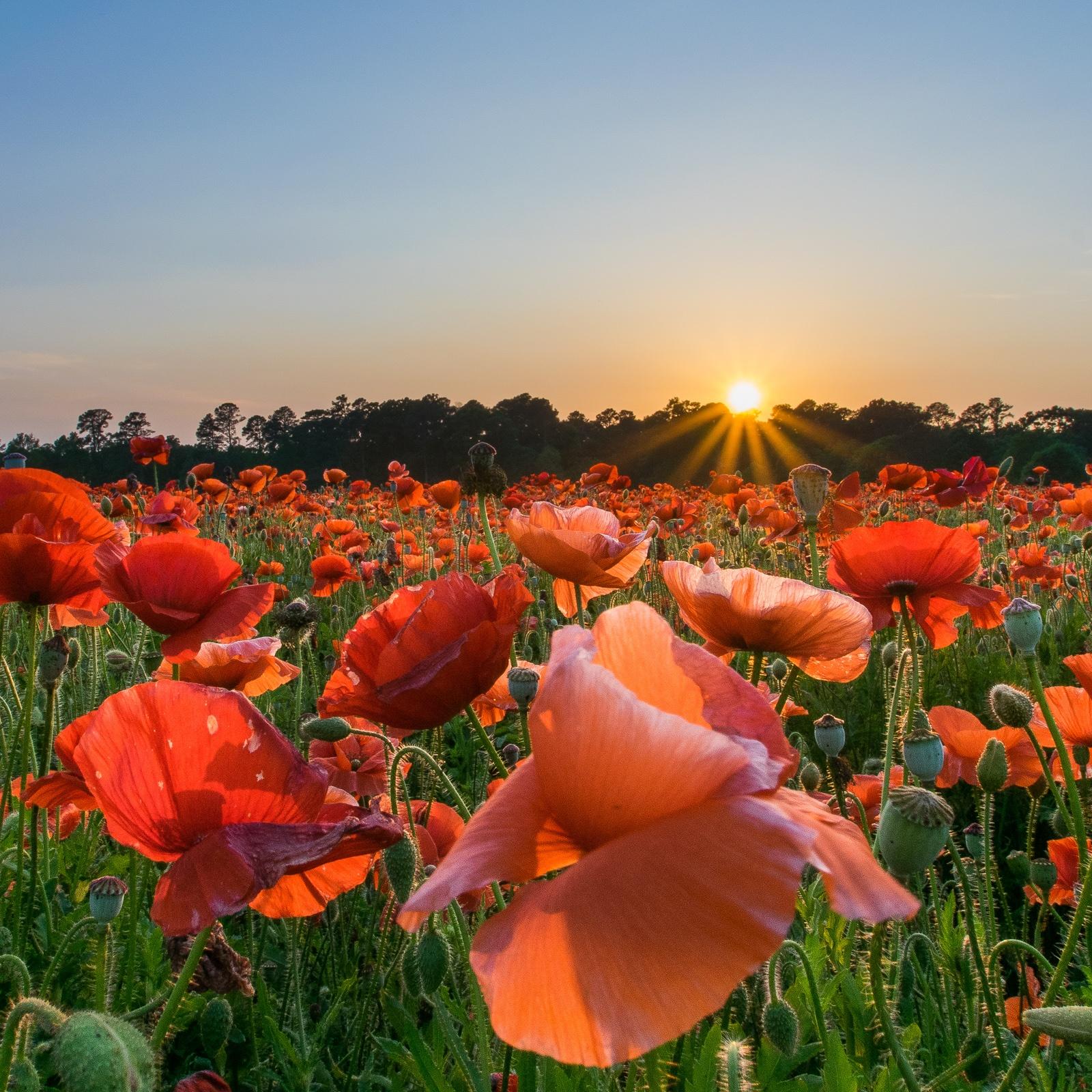 Red Corn Poppy full sun