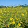 Partridge Pea field