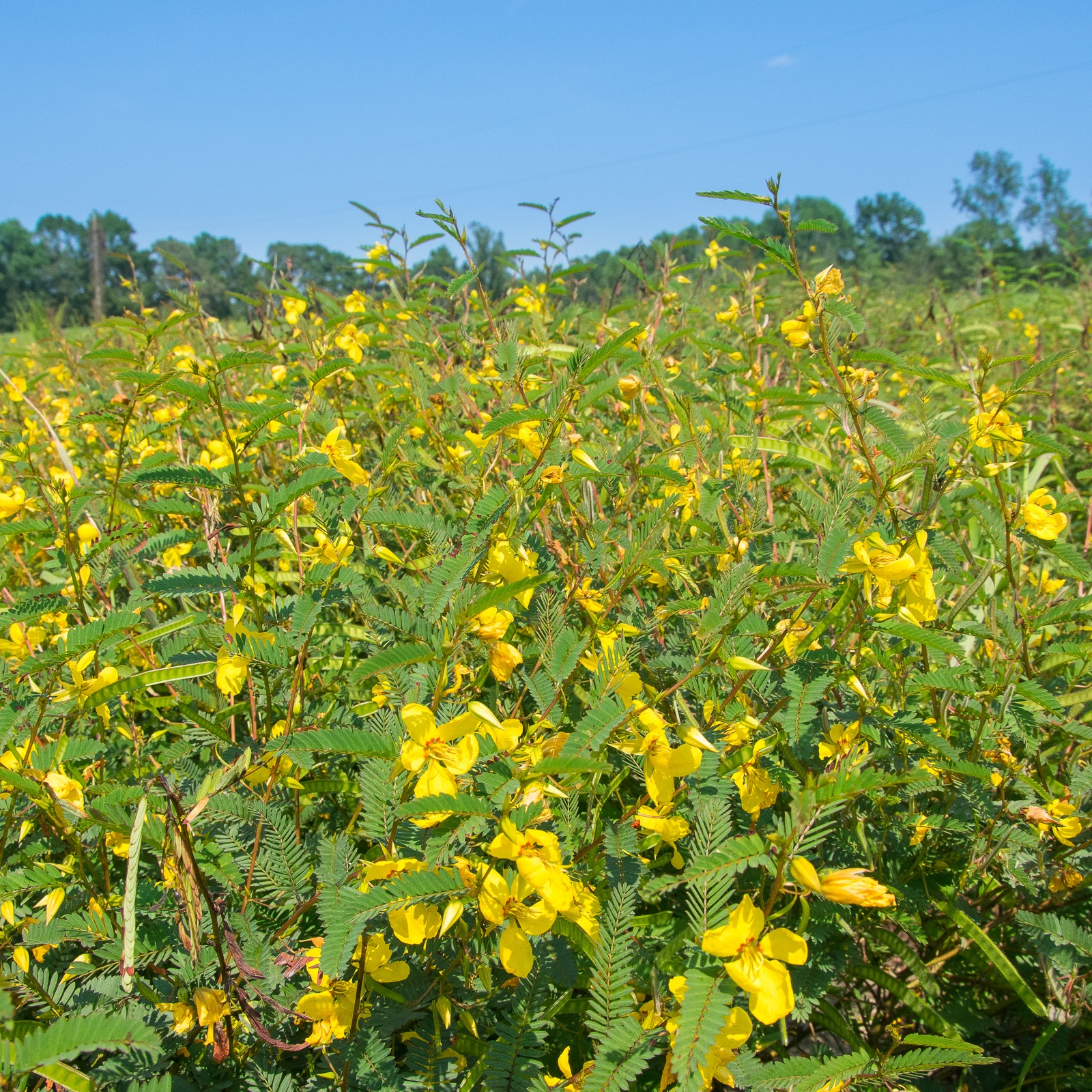 Partridge Pea field