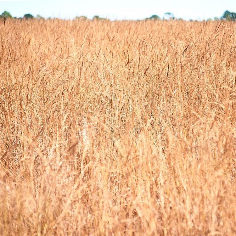 Yellow Indian Grass closeup