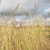 Yellow Indiangrass