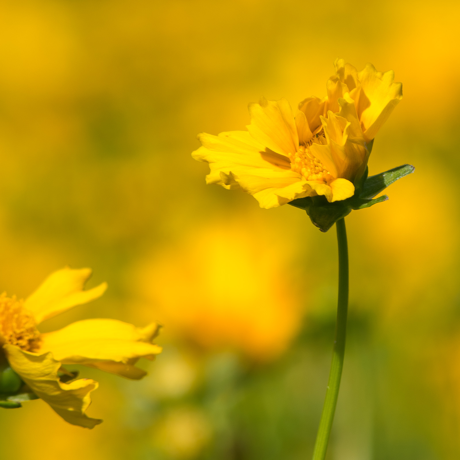 Lance-Leaved Coreopsis flower rays