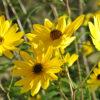 Narrow-Leaved Sunflower pollinator