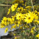 Narrow-Leaved Sunflower faces