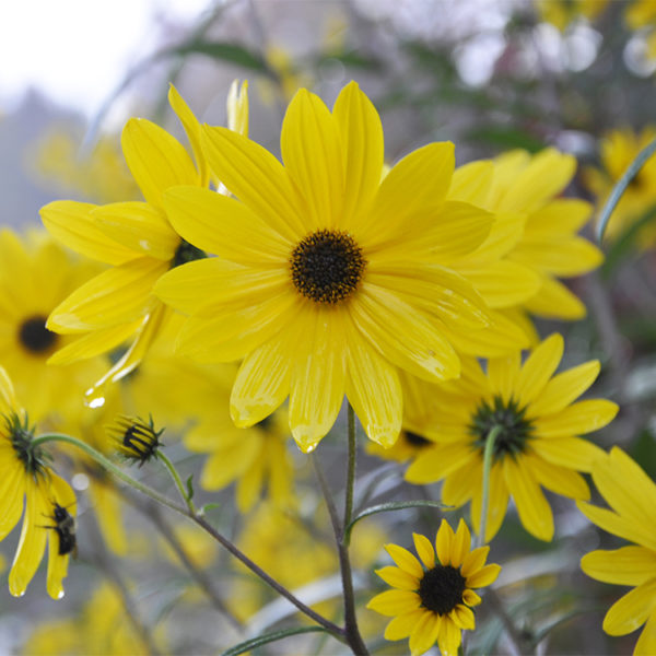 Narrow-Leaved Sunflower closeup