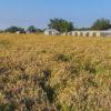 Spotted Beebalm fields