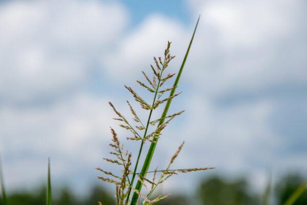 Redtop Panicgrass